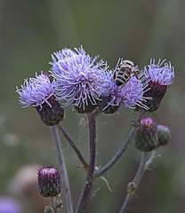Working Bee (Scott 97006) Tags: flowers insect bee bokeh beauty