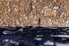 Lizards in Agulo on La Gomera, Spain
