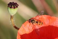 Marmalade Hoverfly (oddbodd13) Tags: poppy flower hoverfly marmaladehoverfly diptera insect macro