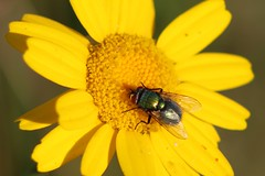 Blowfly (oddbodd13) Tags: marigold flower blowfly fly diptera insect macro
