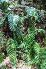 Giant fern in the Garajonay National Park on La Gomera, Spain
