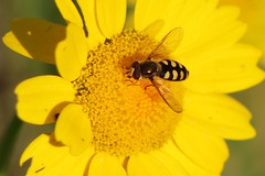 Migrant Hoverfly (oddbodd13) Tags: marigold flower hoverfly migranthoverfly diptera insect macro