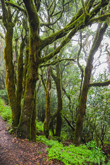 Mossy trees in the Garajonay National Park on La Gomera, Spain