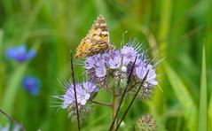Blüten-Besucher (KaAuenwasser) Tags: schmetterling insekt tier blume blüte blüten nah wiese feld wildwiese besucher grün