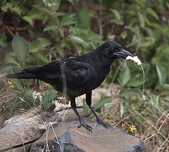 Scavenger Bird (Scott 97006) Tags: bird scavenger food feathers animal blackbird