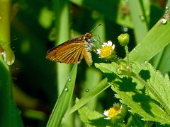 Least Skipper (Ancyloxypha numitor) (WRFred) Tags: butterfly skipper flower nature wildlife maryland montgomerycounty