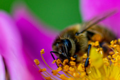 Through a bee's eyes (ecclesd1) Tags: insect bee flower macro