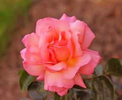 IMG_7457 Rose (Julecu) Tags: rose flower gardenflower naturephotography floralart
