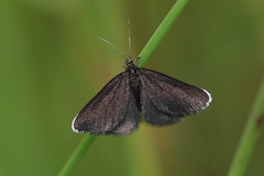 Selection of Butterflies / Moths (Dougie Edmond) Tags: irvine scotland unitedkingdom nature wildlife moth butterfly