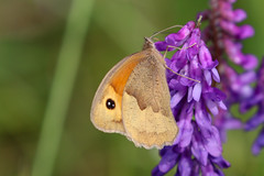 Selection of Butterflies / Moths (Dougie Edmond) Tags: scotland unitedkingdom irvine nature butterfly wildlife moth