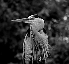A Heron in Florida (pjpink) Tags: bird heron blue greatblueheron gatorland centralflorida orlando florida fl april 2019 spring pjpink 2catswithcameras blackandwhite bw monochrome uncolored