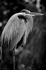 Heron Stand (pjpink) Tags: bird heron blue greatblueheron gatorland centralflorida orlando florida fl april 2019 spring pjpink 2catswithcameras blackandwhite bw monochrome uncolored
