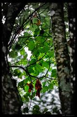 (WB.Photography) Tags: smc pentaxda 50200mm f456 ed wr smcpentaxda50200mmf456edwr pentax rain leaves tree green brown leaf pentaxart ngc natgeo explore flickr betterthangood finegold