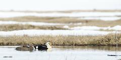 King Eider (karenmelody) Tags: bird birds animal animals alaska duck ducks kingeider anatidae anseriformes usa unitedstatesofamerica vertebrate vertebrates salcha somateriaspectabilis nearbarrow
