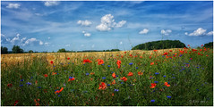 Sommerwind (Eric mit c) Tags: sommer feld wiese mohn kornblumen meer usedom krummin sony alpha a7 24105