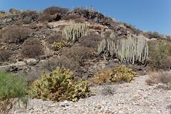 Sandos San Blas Hotel, Tenerife, Canary Islands (wildhareuk) Tags: cactus canaryislands canon canoneos500d flora hotel spain tamron18270mm tenerife tenerife2019 euphorbia naturereserve plant pricklypear sandossanblas tamron img9636dxo index
