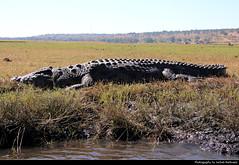 Crocodile, Chobe NP, Botswana (JH_1982) Tags: nile crocodile crocodylus niloticus predator reptile krokodil nilkrokodil 尼羅鱷 ナイルワニ 나일악어 нильский крокодил nature natur wildlife animal tier chobe np national park nationalpark pn parque parc nacional 喬貝國家公園 チョベ国立公園 चोबे नेशनल पार्क botswana botsuana 波札那 ボツワナ 보츠와나 ботсвана