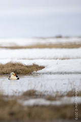 King Eider (karenmelody) Tags: usa bird birds animal animals alaska duck unitedstatesofamerica ducks location kingeider vertebrate vertebrates anatidae anseriformes salcha somateriaspectabilis nearbarrow