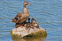 Nap Time (garywitte845) Tags: duck mallards ducklings rock water birds waterfowl