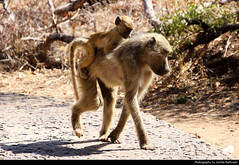 Baboon with baby, Victoria Falls, Zambia (JH_1982) Tags: baboon baboons monkey monkeys ape apes affe affen pavian paviane bärenpavian tschakma chacma papio ursinus медвежий павиан 차크마개코원숭이 babouin 狒狒屬 ヒヒ павианы young baby animal wildlife nature tier victoria falls mosioatunya victoriafälle cataratas chutes 维多利亚瀑布 ヴィクトリアの滝 빅토리아 폭포 виктория zambia sambia zambie 赞比亚 ザンビア 잠비아 замбия