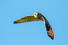 IMG_9462 (serj k.) Tags: shorteared owl 7dmarkii tamron150600