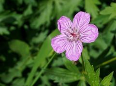 DSC02767 (Aubrey Sun) Tags: ut utah hike mountain wildflower