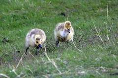 goose chicks (vipermikey) Tags: canadagoose bird waterfowl banff banffnationalpark alberta canada parkscanada nature wildlife