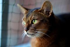 There's a dove out there... (DizzieMizzieLizzie) Tags: 2019 sony a7iii ilce7m3 fe 135mm f18 gm dof bokeh golden classic pose ilce chat gatos neko pisica meow kot katze katt gatto gato feline cat portrait dizziemizzielizzie lizzie aby abyssinian dove