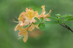 Azalea (MichellePhotos2) Tags: azalea green orange flower flora garden michigan summer blossom nikon d850 nikond850 prime 150mm macro