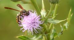 wasp (chasdobie) Tags: insect wasp flower canadathistle green lanark ontario canada macro nikon outdoor