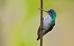 Amazilia franciae - Andean Emerald - Amazilia andino 13 (jjarango) Tags: avesdecolombia aves avistamiento birding birdingcolombia birdwatching birdsofcolombia birds amaziliafranciae andeanemerald amaziliaandino