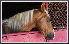 StateFair_4241 (bjarne.winkler) Tags: 2019 california state fair horse