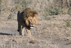 Strolling Along (swmartz) Tags: nikon nature outdoors wildlife lions king predator southafrica madikwe savanah june 2019 200500mm n