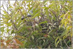 The Nest 8287 (maguire33@verizon.net) Tags: elanusleucurus pradoregionalpark whitetailedkite bird birdofprey chick kite nest nesting raptor wildlife