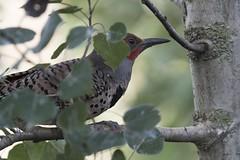 Dad (Jan.Timmons) Tags: northernflicker colaptesauratus picflamboyantfrench carpinteroescapulariospanish adultmale bird woodpecker outside outdoors aspentree trunk birdonastick