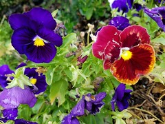20190715_092814 (tomcomjr) Tags: samsung galaxy s7 android phonecamera flowers orange yellow purple green white red pink