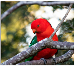 Male King Parrot (Bear Dale) Tags: male king parrot scientific name alisterus ulladulla southcoast new south wales shoalhaven australia beardale lakeconjola fotoworx milton nsw nikond850 photography framed nature nikon nikkor afs 200500mm f56e ed vr d850 bird feathers red bokeh dof depthoffield naturephotography naturaleza branch branches