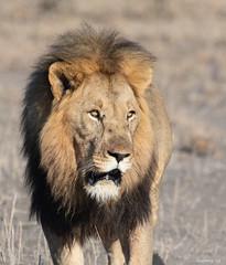 The Mane (swmartz) Tags: nikon nature outdoors wildlife lions king predator southafrica madikwe savanah june 2019 200500mm n