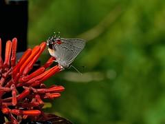 Gray Hairstreak (Strymon melinus) Butterfly on Firebush ----1K135F3.2 (hyphy2008) Tags: konica135mmf32 26mmextensiontube macro bokeh garden flower firebushhameliapatens butterfly insect grayhairstreakstrymonmelinus