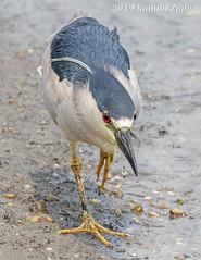 Black-crowned Night Heron IMG_6379 (ronzigler) Tags: blackcrowned heron blackcrownednightheron birdwatcher wildlife nature avian wader bird