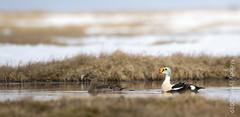 King Eider (karenmelody) Tags: bird birds animal animals alaska duck ducks kingeider anatidae anseriformes somateriaspectabilis usa unitedstatesofamerica vertebrate vertebrates salcha nearbarrow