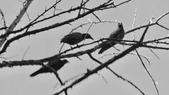 Of Three Minds (WalrusTexas) Tags: blackwhite bird poem