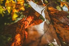 Abstract leaves (tobinyates) Tags: autumn autumnphotography canon canonphotography shotbyateen shotoncanon sunlight colorhues hues color abstract fall fallphotography