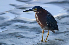 Green Heron at Dusk (dianne_stankiewicz) Tags: heron nature wildlife bird dusk greenheron coastal beach sand