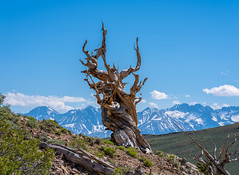 Fuji GFX100 Medium Format Mirrorless Camera at Ancient Bristlecone Pine Forest White Mountains California! Elliot McGucken Fine Art Landscape & Nature Photography! Fujifilm GF 100-200mm f/5.6 R LM OIS WR Zoom Lens Fujinon! (45SURF Hero's Odyssey Mythology Landscapes & Godde) Tags: fuji gfx100 medium format mirrorless camera ancient bristlecone pine forest white mountains california elliot mcgucken fine art landscape nature photography fujifilm gf 100200mm f56 r lm ois wr zoom lens fujinon