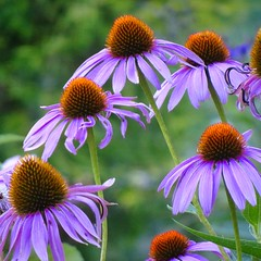 Purple Cone Flower (btusdin) Tags: magnusechinacea