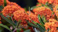MilkweedAntParty (jmishefske) Tags: milkweed boerner halescorners flower whitnall milwaukee ants wisconsin butterfly nikon gardens botanical july park orange 2019 d850 weed