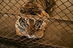 . (arcibald) Tags: khammouane thakek tiger cage laos laopdr