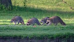TheGreenfieldCrew (jmishefske) Tags: greenfield d850 gang nikon lagoon westallis raccoon wisconsin animals july park milwaukee 2019 county crew