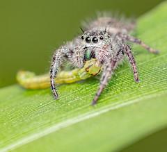 RCS_8591 (checker66) Tags: nature bugs insects macro predators